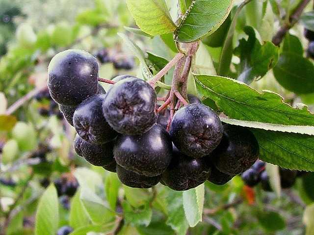 Черноплодная рябина повышает или понижает давление?